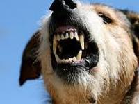 A sarokba szorított kutyák harapnak