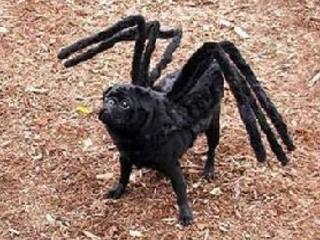Kutya mánia - kutya pók?